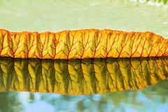 Stora sidor av victoria svävar waterlily på vatten Arkivfoto