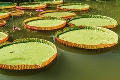 Stora sidor av victoria svävar waterlily på vatten Royaltyfria Bilder
