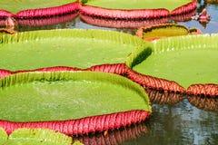 Stora sidor av victoria svävar waterlily på vatten Arkivbilder