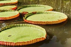 Stora sidor av victoria svävar waterlily på vatten Royaltyfri Foto