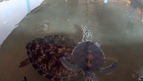 Stora sköldpaddor på en lantgård stock video