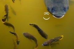 Stora små fiskar för fisk kontra Royaltyfria Bilder