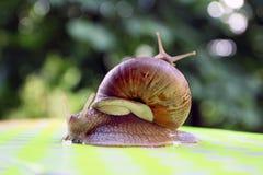 stora snails två En som klättras på andra arkivfoto