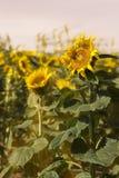 Stora solrosor i ett fält Royaltyfria Bilder