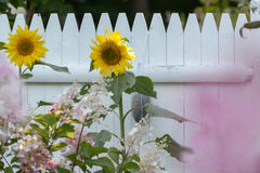 Stora solrosor i New England en kust- trädgård Royaltyfri Fotografi