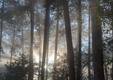 Stora solstrålar i pinjeskogen med magi av ljus, dimma och solsken på soluppgångdel 8 royaltyfria foton