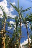 Stora stammar av sockerrottingen som är klara att skördas mot en blå himmel med några moln arkivbild