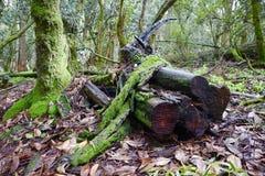 Stora stupade trädstammar som täckas av mossa i skog royaltyfri bild