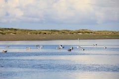 Stora Svart-drog tillbaka fiskmåsar på havet Fotografering för Bildbyråer
