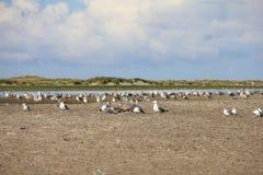 Stora Svart-drog tillbaka fiskmåsar på stranden Arkivbild