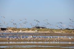 Stora Svart-drog tillbaka fiskmåsar på stranden Royaltyfri Bild