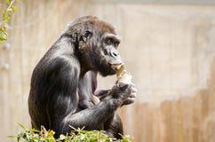 Stora svarta Gorrilla som äter papper royaltyfria bilder