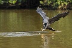 Stora svarta Hawk Approaching Fish i floden Arkivbild