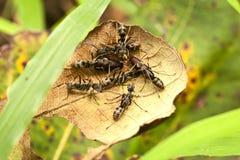 Stora svarta myror som skyddar ägg Arkivfoto