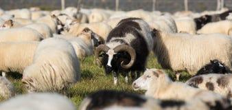 Stora svarta RAMfår med enorma snurrade horn mellan vita sheeps i fältet iceland arkivfoto