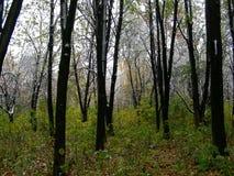 Stora svarta synliga trädstammar Arkivbild