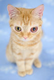 Stora synade Kitty Cat arkivbild