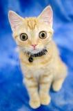 Stora synade Kitty Cat Seymore Beanie Boo arkivfoton