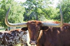 Stora Texas Longhorn Steer 5 Arkivbilder