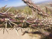 Stora Thorn Cactus Arkivfoto