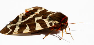 Stora Tiger Moth royaltyfria foton