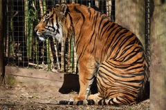 Stora Tiger Sits Royaltyfri Fotografi