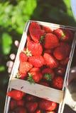 Stora tjocka Hand-plockade jordgubbar Arkivbilder