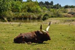 stora tjurhorns Arkivbild
