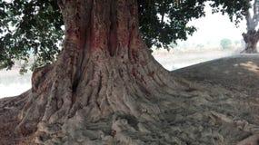 Stora träd Arkivbild