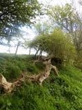 Stora träd i Crookham Northumerland, England UK Royaltyfri Foto