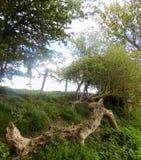 Stora träd i Crookham Northumerland, England UK Arkivbilder