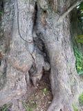 Stora träd i Crookham Northumerland, England UK Royaltyfria Bilder