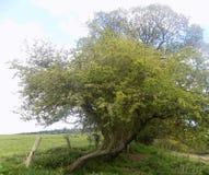 Stora träd i Crookham Northumerland, England UK Fotografering för Bildbyråer