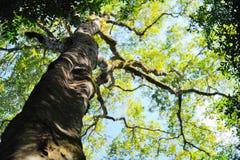 Stora träd i den Chiangdao skogen Arkivfoton