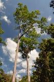 Stora träd i den Kanchanaburi skogen Thailand Arkivfoton
