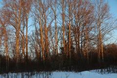 Stora träd i en vinterafton Arkivfoto