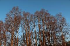 Stora träd i en vinterafton Royaltyfri Fotografi