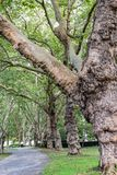 Stora träd längs stenlagd bana inom naturstad parkerar arkivbilder