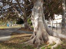 Stora träd med öppet rotar arkivbilder