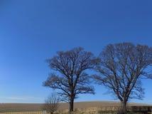 Stora träd på Crookham, Northumberland, England UK Arkivfoto