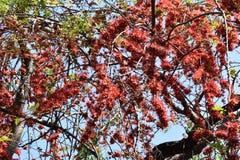 Stora träd, röda blommor Arkivfoton