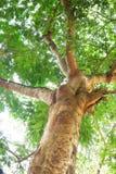 stora trees Royaltyfri Bild