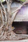 Stora trees planterade framme av huset Royaltyfri Foto