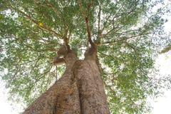 Stora treestammar. Royaltyfria Foton