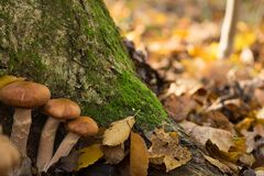 Stora trevliga champinjoner i en skog arkivbilder