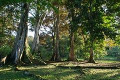 Stora tropiska fikonträd i Panama Royaltyfri Foto