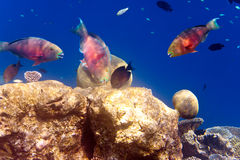 Stora tropiska fiskar över en korallrev. Tropiskt landskap för hav Arkivbilder