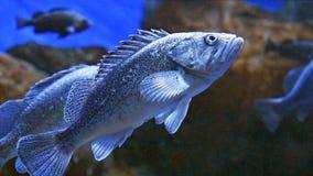 Stora tropiska fiskar stänger sig upp lager videofilmer