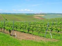 Stora vingårdfält Royaltyfri Bild