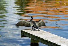 stora vingar för cormorantdrying Fotografering för Bildbyråer